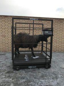 فروش باسکول گوسفندی